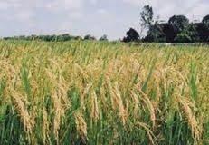 Câu chuyện về 2 hạt lúa